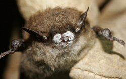 Little Brown Bat with White-nose disease.
